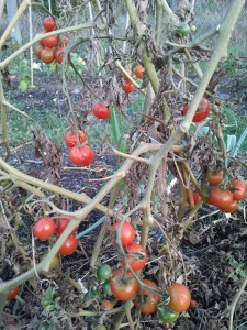 Pied de tomates cerises