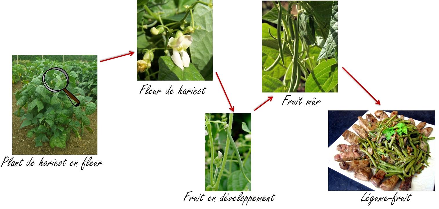 Fiche n 1 fruit ou l gume fin du d bat appellation origine campusappellation origine campus - Haricot vert fruit ou legume ...